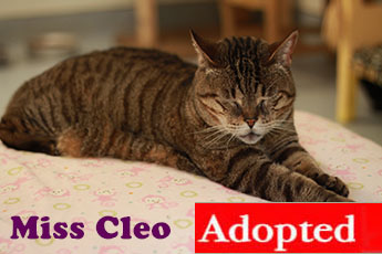 Name: Miss Cleo Breed: Short Haired Tabby Gender: Spayed Female Age: 10  Years Old Weight: 14 Pounds. Organization: Friends Of Cats